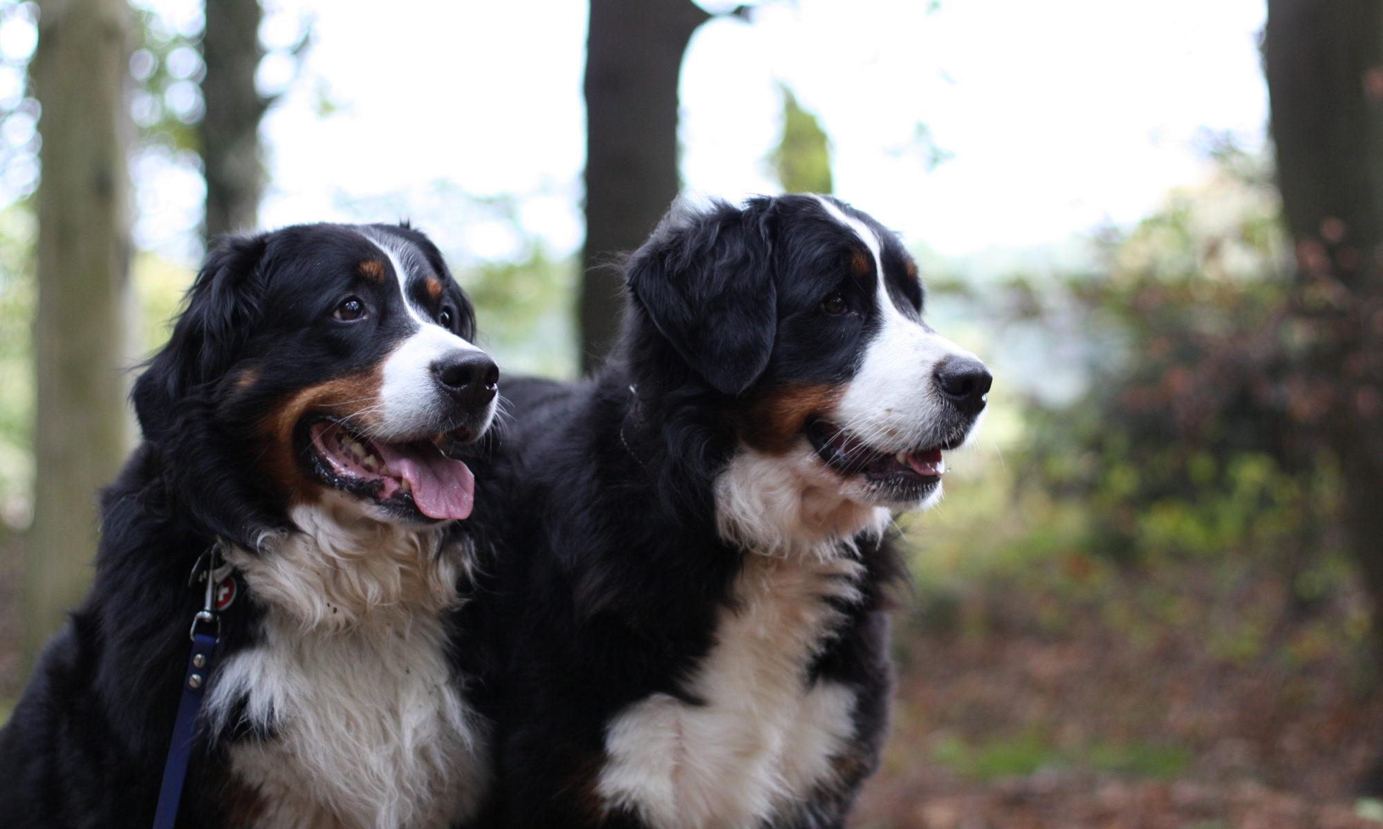 Berner Sennenhunde vom Bernergarten